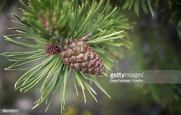 close-up of pine cone growing on tree - dave faulkner eye em stock pictures, royalty-free photos & images