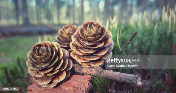 Close-Up Of Pine Cone On Tree In Forest