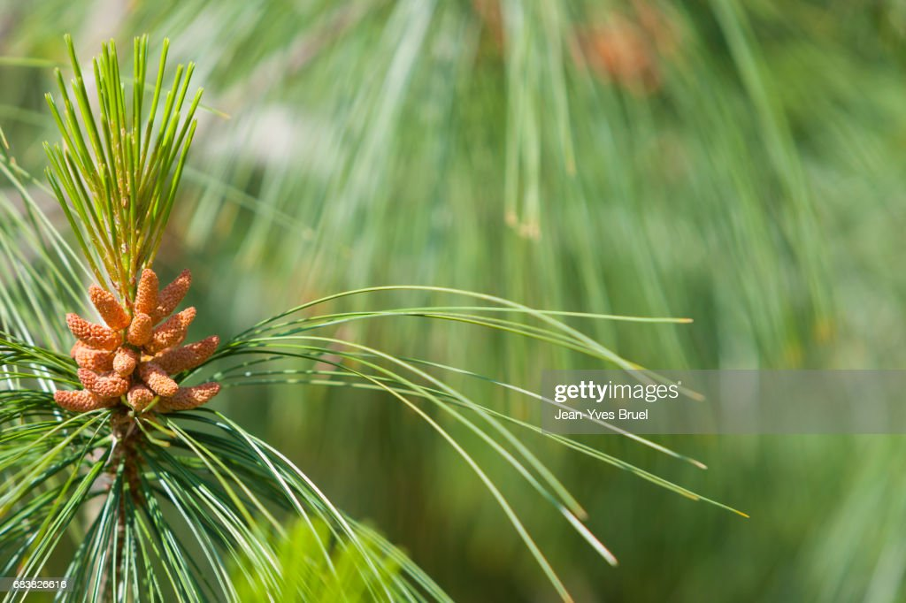 Close-Up of Pine Cone on Tree : Stock Photo