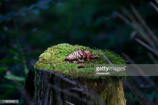 close-up of pine cone on tree stump in forest at bavaria, germany - tree stump stock pictures, royalty-free photos & images