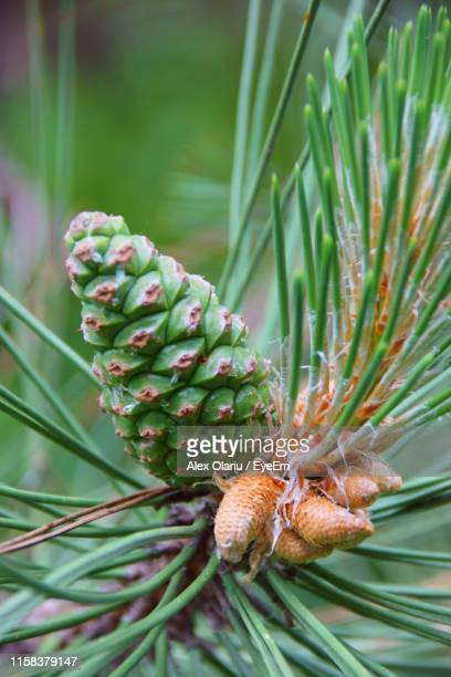 close-up of pine cones on branch - alex olariu stock photos and pictures