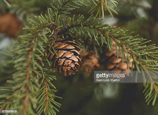 Close-Up Of Pine Cones On Tree Branches