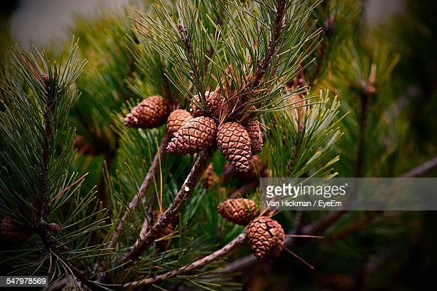 Close-Up Of Pine Cones On Tree In Forest