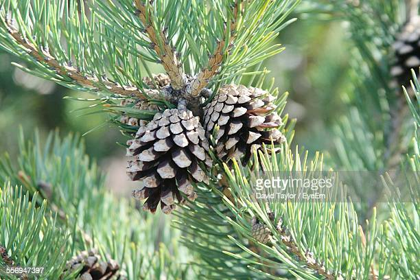 Close-Up Of Pine Cones On Tree