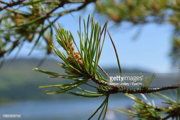 Close-Up Of Pine Tree Branch Against Sky