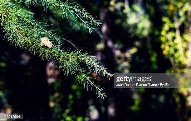 Close-Up Of Pine Tree Branch In Forest