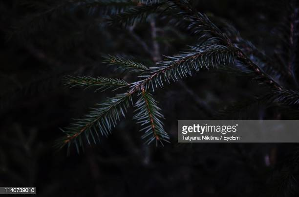 close-up of pine tree branch - nikitina stock pictures, royalty-free photos & images