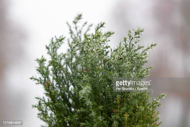 close-up of pine tree during winter - per grunditz stock pictures, royalty-free photos & images