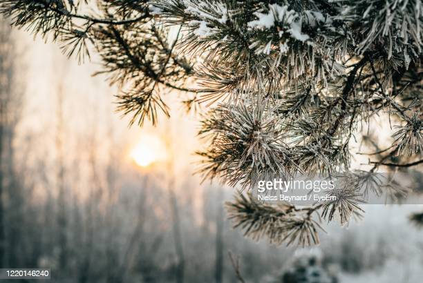 close-up of pine tree during winter - krasnoyarsk stock pictures, royalty-free photos & images