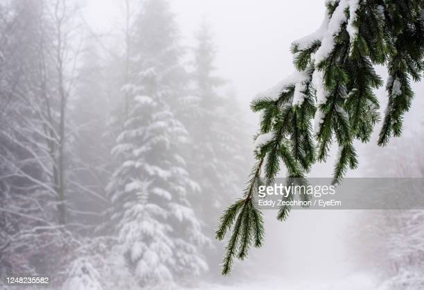 close-up of pine tree during winter - deep snow stock pictures, royalty-free photos & images