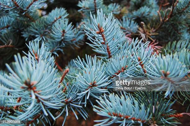 close-up of pine tree growing outdoors - pinaceae stock photos and pictures
