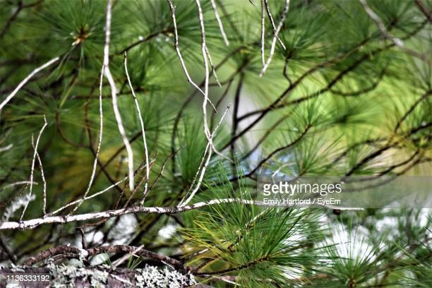 close-up of pine tree in forest - coniferous stock pictures, royalty-free photos & images