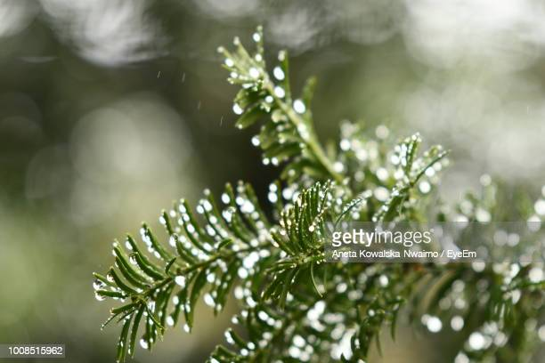 close-up of pine tree leaves - aneta eyeem stock pictures, royalty-free photos & images