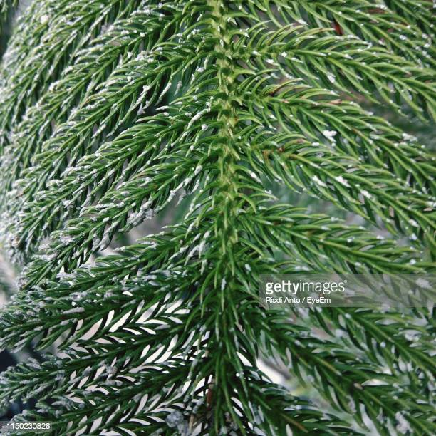 close-up of pine tree leaves - west kalimantan stock pictures, royalty-free photos & images