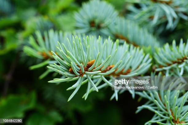 close-up of pine tree - pinaceae stock pictures, royalty-free photos & images