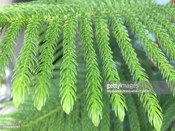 close-up of pine tree - wipavadee stock photos and pictures