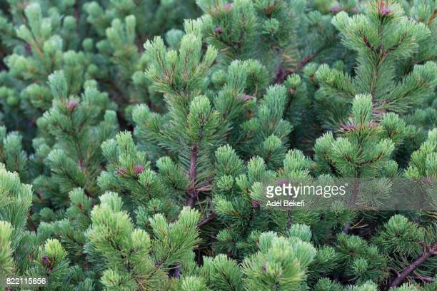 close-up of pine tree - december stock pictures, royalty-free photos & images