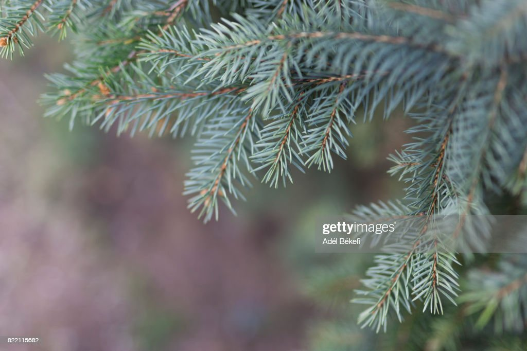 Close-Up Of Pine Tree : Stock Photo