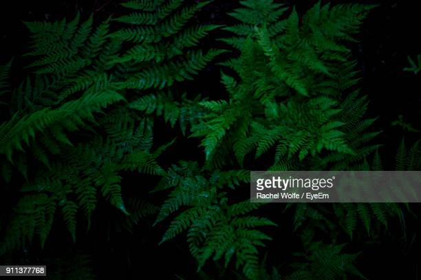 close-up of pine tree - rachel wolfe stock pictures, royalty-free photos & images