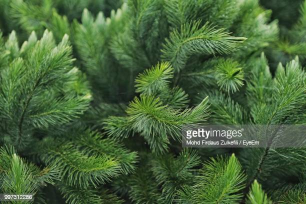 close-up of pine tree - evergreen stock pictures, royalty-free photos & images