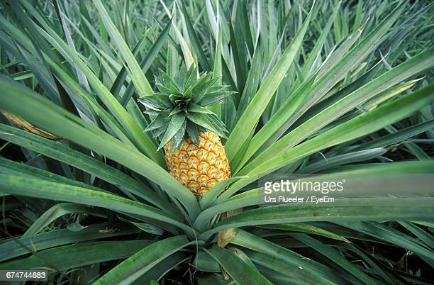 Close-Up Of Pineapple Growing On Plant