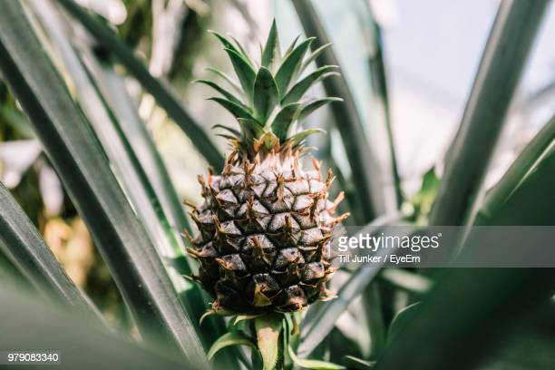 Close-Up Of Pineapple Growing On Tree