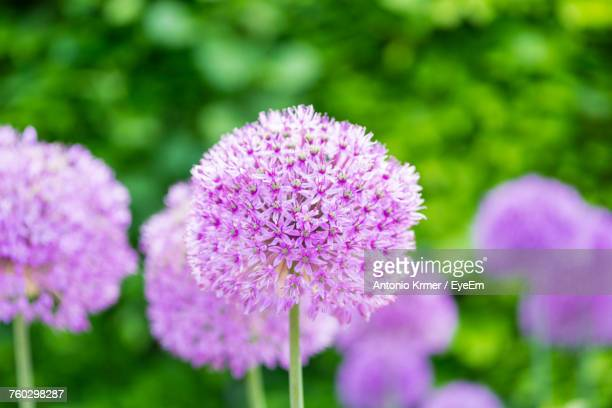 Close-Up Of Pink Allium Blooming Outdoors