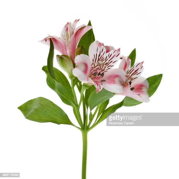 Close-up of pink Alstroemeria flower on white square background.