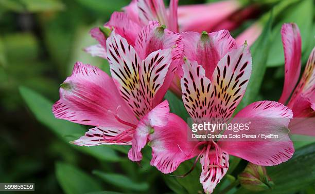 close-up of pink alstroemeria - alstroemeria stock pictures, royalty-free photos & images
