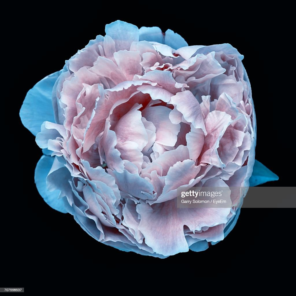 Closeup Of Pink And Blue Flower Against Black Background Stock Photo