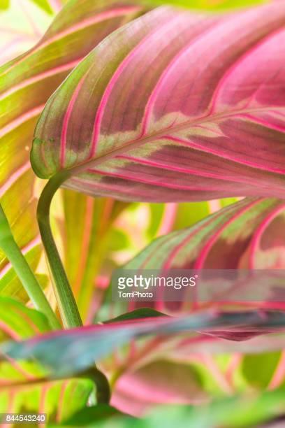 Close-up of pink and green tropical maranta leaves
