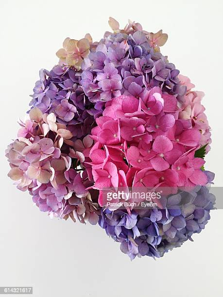 close-up of pink and purple hydrangea against white background - hydrangea stock pictures, royalty-free photos & images