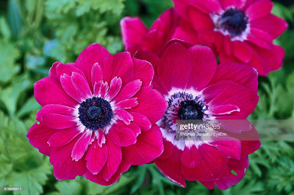 Closeup of pink anemone flowers blooming outdoors stock photo close up of pink anemone flowers blooming outdoors stock photo mightylinksfo