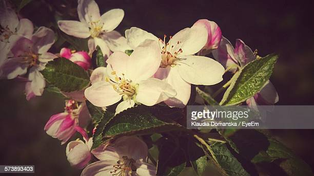 Close-Up Of Pink Apple Blossoms Outdoors
