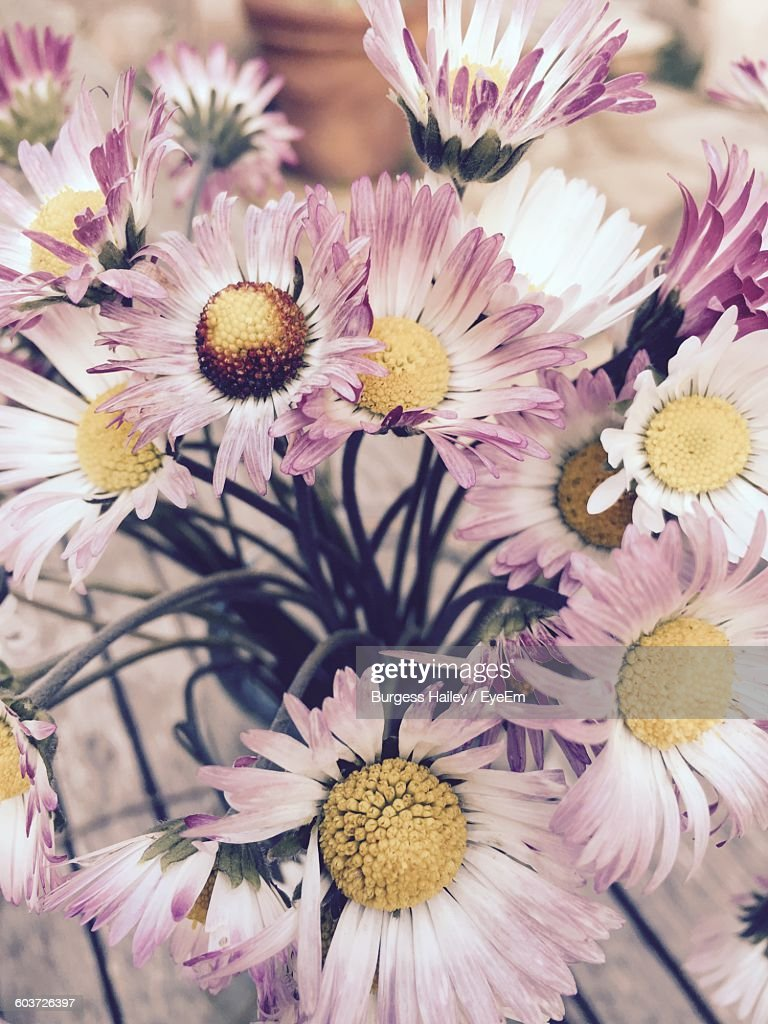 Closeup Of Pink Aster Flowers In Vase Stock Photo Getty Images