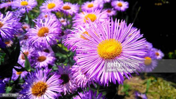 Close-Up Of Pink Asters Blooming Outdoors