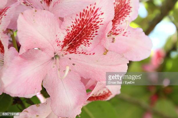 close-up of pink azalea blooming outdoors - azalea stock pictures, royalty-free photos & images