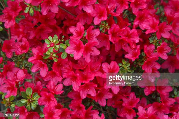 close-up of pink azalea flowers filling frame. - azalea stock pictures, royalty-free photos & images