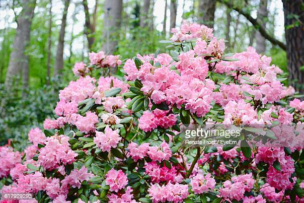 close-up of pink azaleas blooming in park - azalea stock pictures, royalty-free photos & images