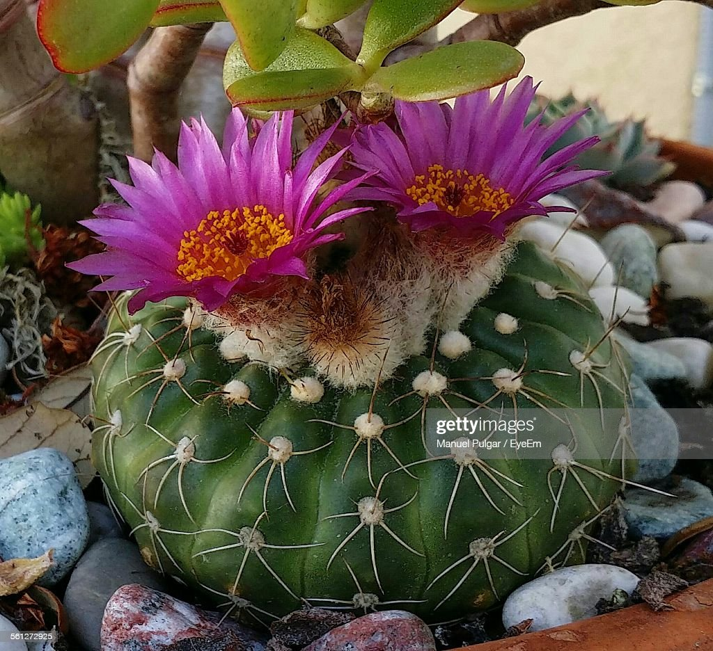 Closeup Of Pink Barrel Cactus Flowers In Pot Stock Photo Getty Images