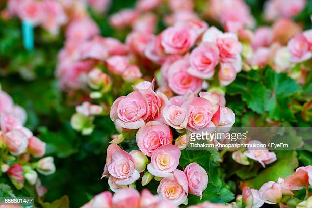 close-up of pink begonia flowers growing at park - begonia stock pictures, royalty-free photos & images