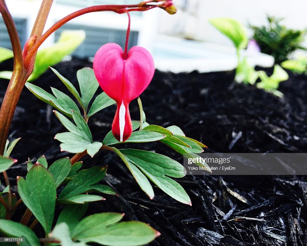 Closeup Of Pink Bleeding Heart Flower Stock Photo Getty Images