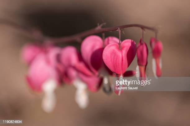 close-up of pink bleeding heart (lamprocapnos spectabilis) flowers against a brown blurred background - laurent sauvel photos et images de collection