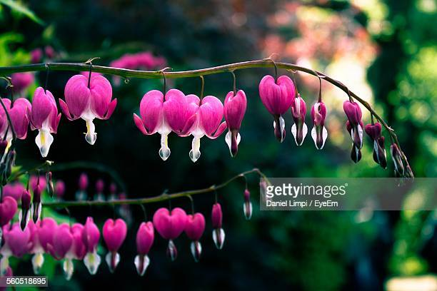 Close-Up Of Pink Bleeding Hearts Blooming In Park