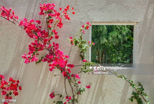 close-up of pink bougainvillea and window - bougainville stock photos and pictures