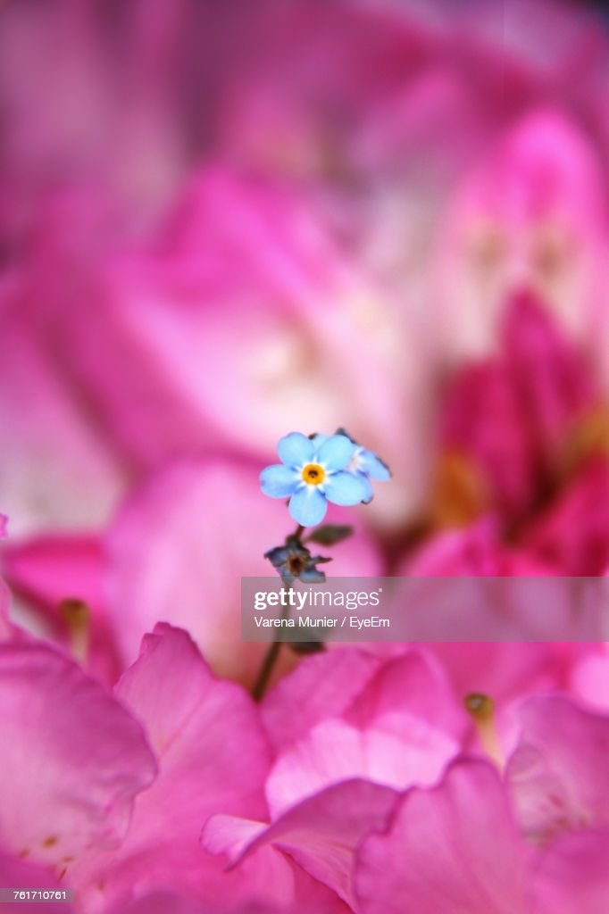 Close-Up Of Pink Bougainvillea Blooming Outdoors : Stock Photo
