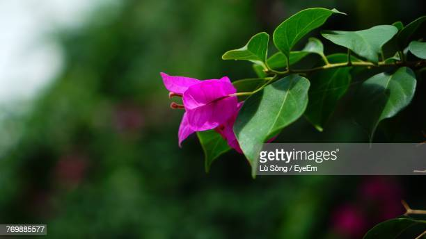 close-up of pink bougainvillea blooming outdoors - tropical bush stock photos and pictures