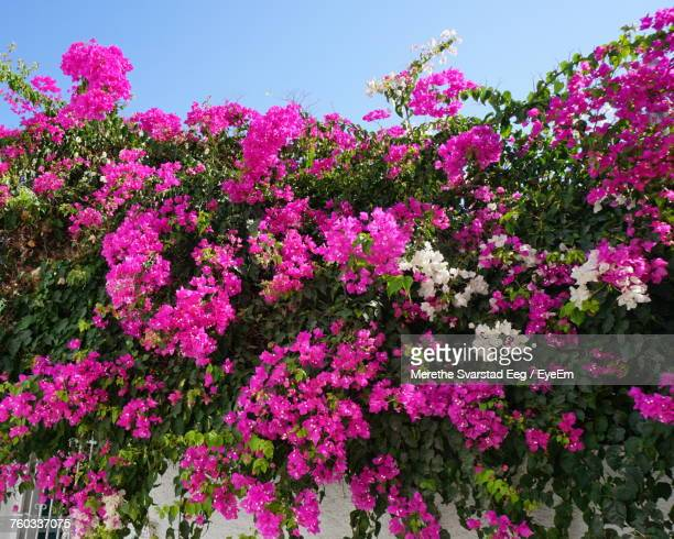 Close-Up Of Pink Bougainvillea Flowers Blooming On Tree