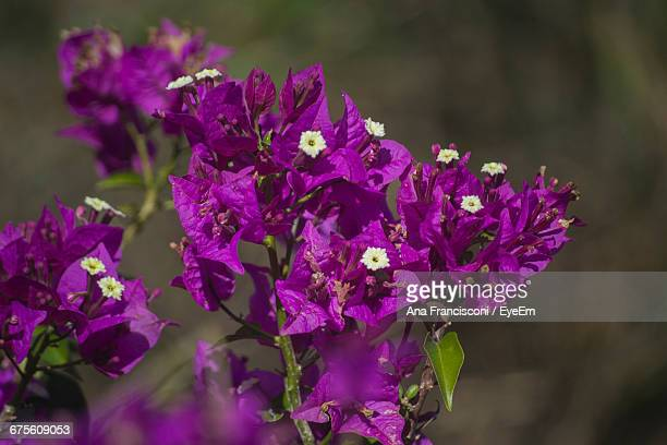 Close-Up Of Pink Bougainvillea Flowers On Twig