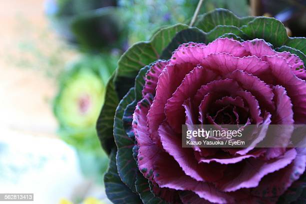 Close-Up Of Pink Cabbage